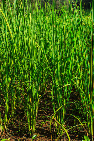 jasmine rice: Campo de arroz jazm�n en el norte de Tailandia Foto de archivo