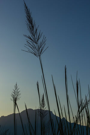 wild grass at mountian background  photo