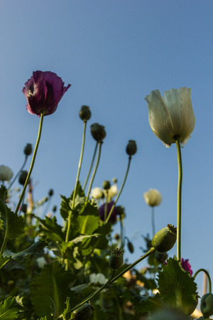 morphine: Opium poppy flowers in field  Stock Photo