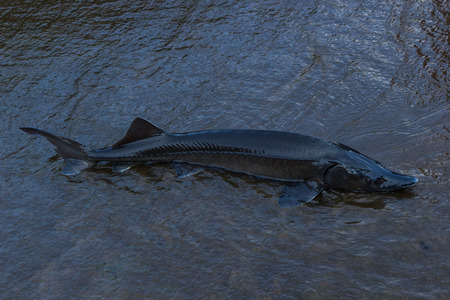 The Sturgeon  Big fish in the Danube river  This fish is a source for caviar and tasty flesh   photo