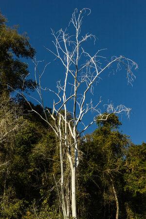 fang: white Tree at Fang Hot Springs Mae Fang National Park , Mon Pin, Fang, Chiang Mai, Thailand  Stock Photo