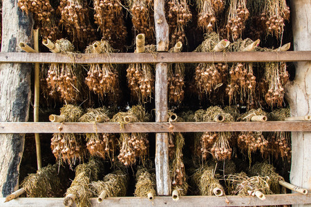 Dry garlic  in the warehouse of Thai farmers  photo