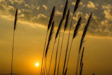 wild grass: hierba salvaje en el fondo del amanecer