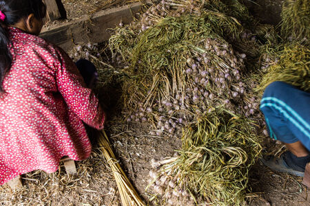 Thai farmers are storing garlic in warehouse  photo