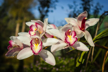 orchidaceae: Cymbidium or boat orchids, is a genus of 52 evergreen species in the orchid family Orchidaceae Stock Photo