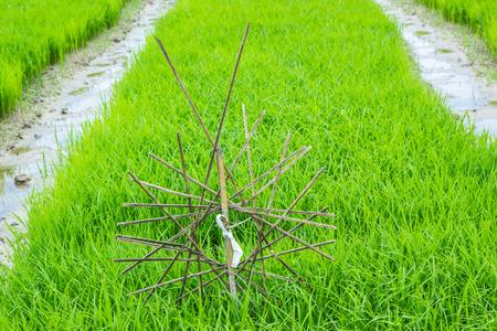 vegetate: The rice seedlings vegetate in water