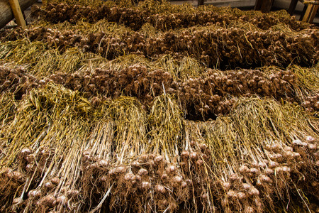 Garlic drying in the shed of Agriculture Thailand  photo