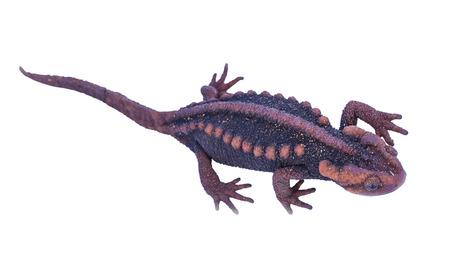 salamandra: Salamander (Tylototriton verrucosus) aislado en el fondo blanco en Tailandia y el sudeste asi�tico.