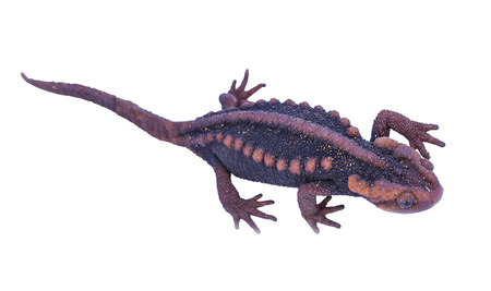 salamandre: Salamander (Tylototriton verrucosus) isoler sur fond blanc en Tha�lande et en Asie du Sud-Est.