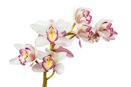 Beautiful Flower Orchid close up isolated on white background Foto de archivo