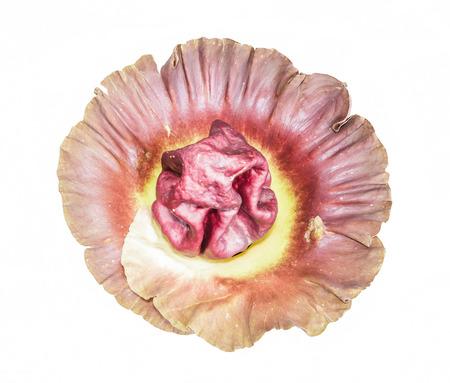 corpse flower: Amorphophallus campanulatus Bl.ex Dence.A.paeoniifolius Dennst. Nicolson