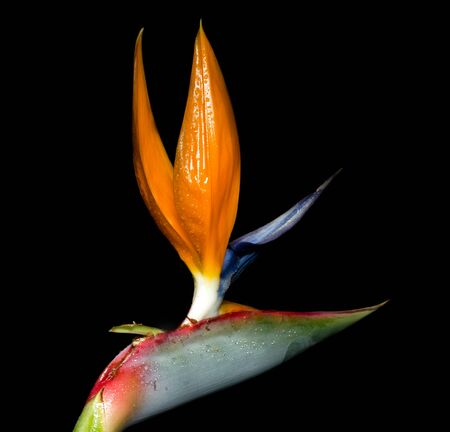 bird of paradise plant: Strelitzia reginae is a monocotyledonous flowering plant indigenous to South Africa. Common names include Strelitzia, Crane Flower or Bird of Paradise.