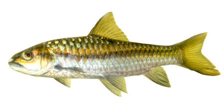 mahseer: Mahseer Barb or Neolissochilus stracheyi in Cyprinidae isolated on white background. Stock Photo