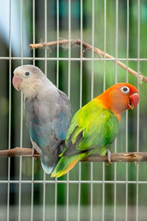 Pair of lovebird couple in the cage outdoor garden.