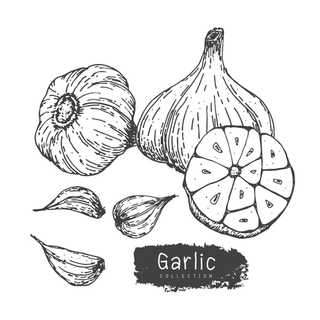 Garlic Collection, Hand Draw Garlic Vector Set iSolated White Backgroud.