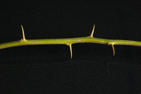Part of the Fuengfah [Bougainvillea] Stem with Thorns iSolated on Black background. Stock Photo
