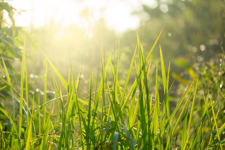 Fresh and Relax Green Spring Grass Background Under the Morning Sun Light.