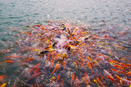 Tourism Feed Many Hungry Fancy Carp, Mirror Carp Fish, Koi in the Pond. Colorful Fish in the Pool. 写真素材