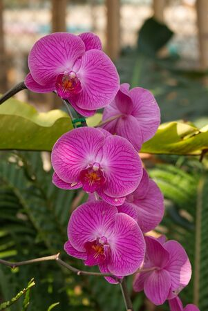 Moth Dendrobium Orchid Flower or Pink Phalaenopsis in the Garden