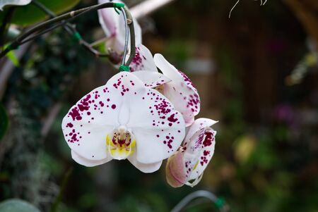 Beautiful Phalaenopsis Orchid Flower Blossom Blooming in the Garden.