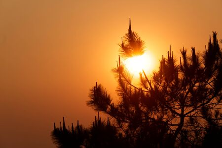 Beautiful Close-up Silhouette Pine Leaves in the Sunrise Morning Reklamní fotografie