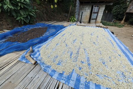Raw Coffee Beans Drying on the Table in the Local Village