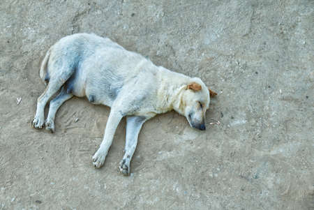 Stray Dog Sleeping in Peace on the Dirt Road in the Local Area.