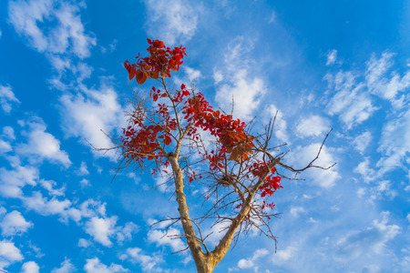 red leaves begin blossom in the spring season at Kao Yai National Park Stock Photo