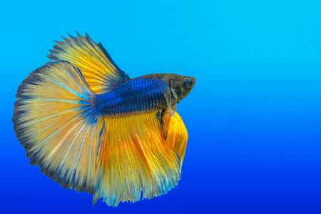 yellow siamese fighting fish,Halfmoon betta fish isolated on white background. 스톡 콘텐츠