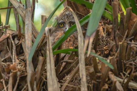Baby owl big eyes lying in a nest that is camouflage at reserved swamp forest area Phatthalung Southern Thailand 免版税图像