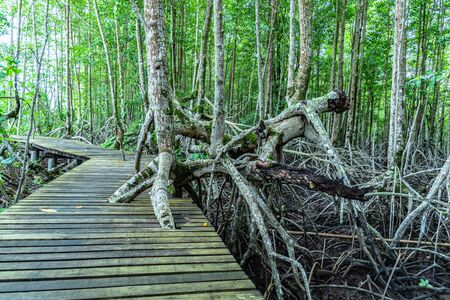 root of mangrove tree at black beach view point Trat Thailand