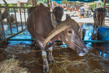The buffalo rested in the livestock of Thai Buffalo Conservation Center