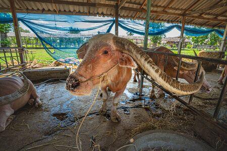 the old Albino buffalo in livestock Фото со стока