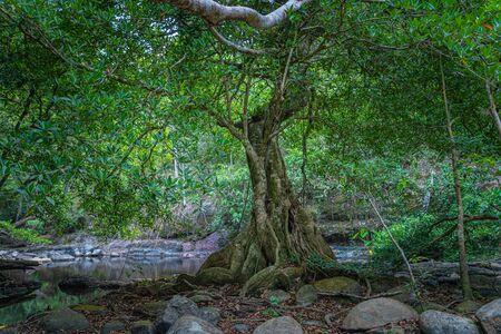 big tree beside Lamtakong river in Khao Yai National Park Stock fotó