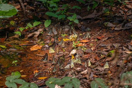 A group of butterflies eat food in the forest beside Lamtakong river