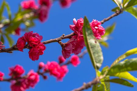 colorful of Pink peach blossom in blue sky during winter Foto de archivo