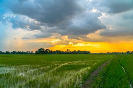 golden sunset on rice field during planting season Banque d'images