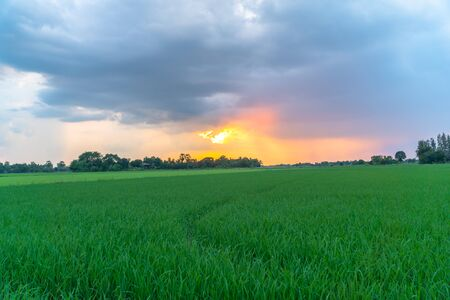 golden sunset on rice field during planting season Stok Fotoğraf