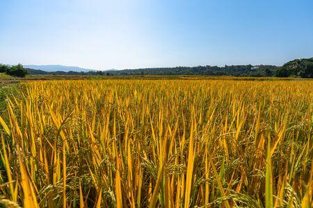 Yellow glutinous rice in rice fields near the harvest season