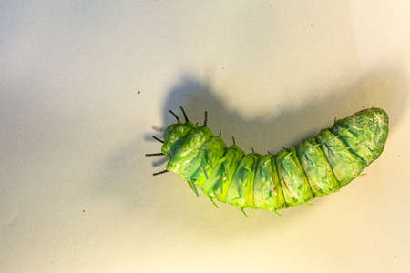A large green caterpillar crawls on a white ground.