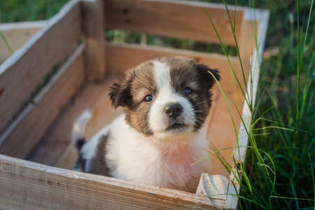 Thai Bangkaew Dog Puppies are in the wooden box on the grass