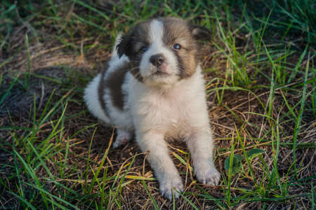 Thai Bangkaew Dog Puppies are in the field Фото со стока
