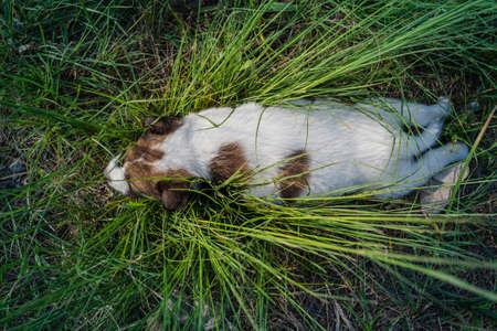 Thai Bangkaew Dog Puppies sleep on the grass