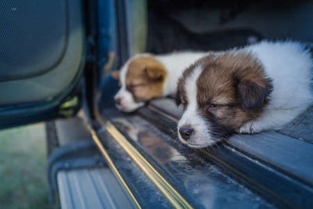 Thai Bangkaew Dog Puppies sleep on the car 免版税图像