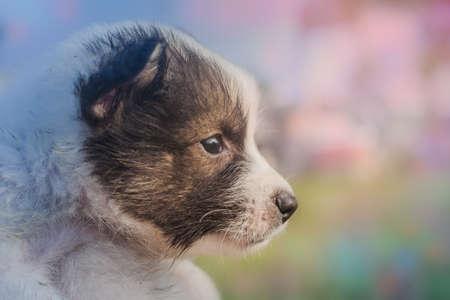 Thai Bangkaew Dog Puppie in the hand.
