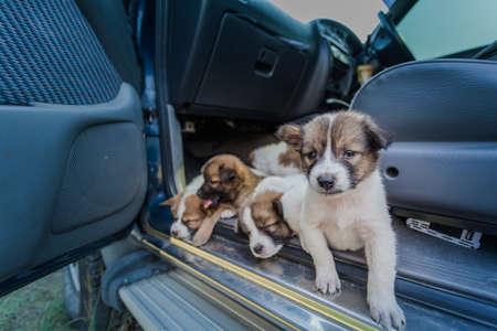 Thai Bangkaew Dog Puppies sleep on the car Фото со стока