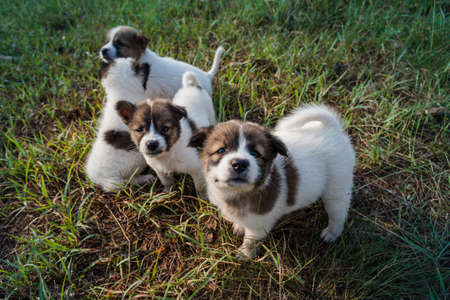 Thai Bangkaew Dog Puppies are in the field 免版税图像