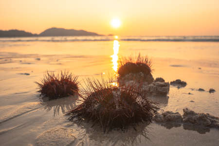 Numerous beautifully patterned red sea urchins are washed by the waves on Patong Beach, Phuket Thailand. a strange natural phenomenon that has never happened before.To make a panic with people Stock Photo