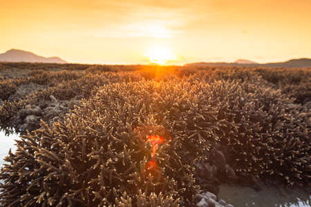 Antler coral field in sunrise at Rawai sea. During low tide, the staghorn coral will rise above the water, forming a vast coral field.