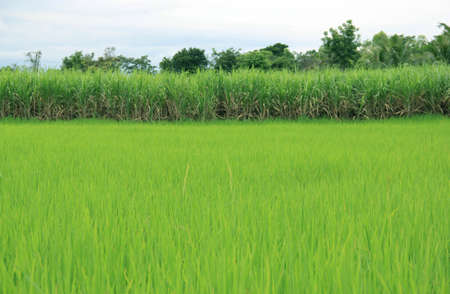 Lush green rice fields. Stock Photo